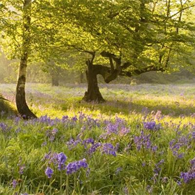 Bluebells at dawn