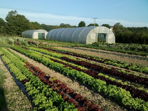 Salad leaf and polytunnel in Bore Place market garden